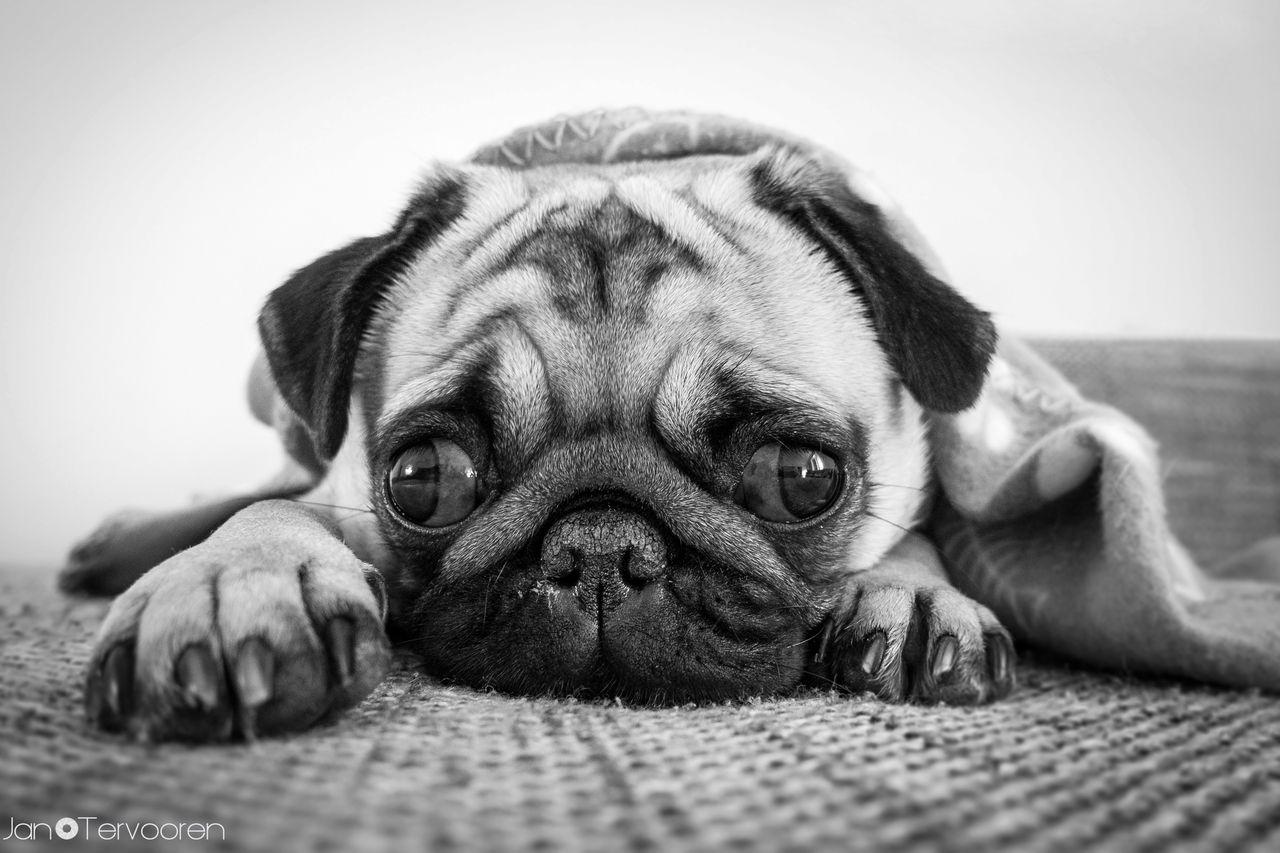 Mopsmania | Tierfotografie | Fotograf Rhede